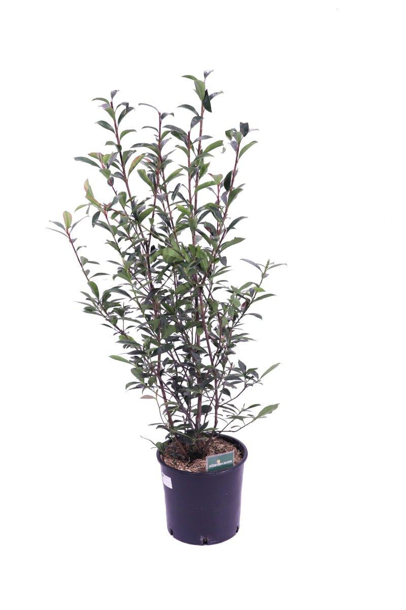 Photinia Fraseri Compacta v24 egarden.store online