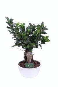 Bonsai Ficus Ginseng 125gr egarden.store online