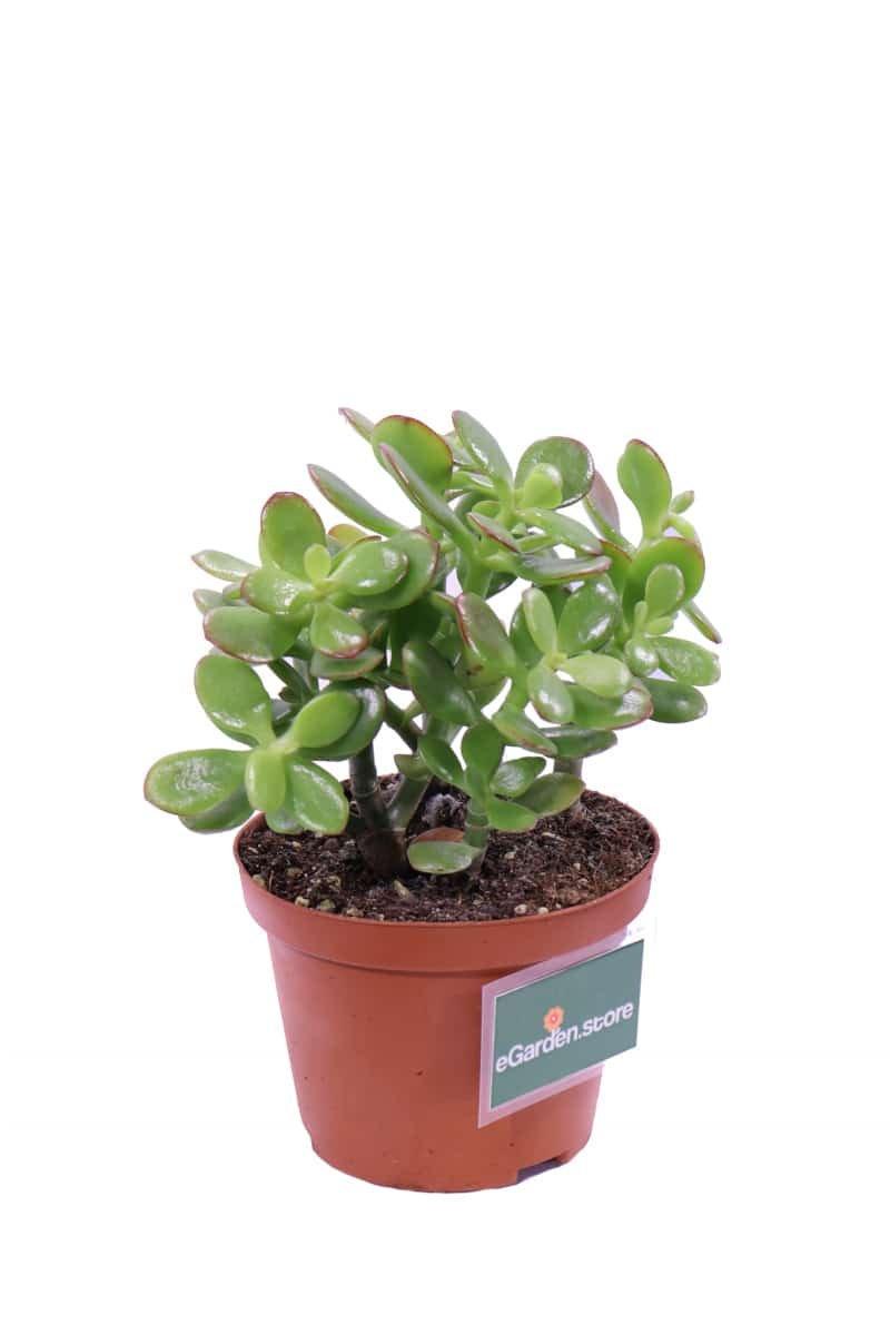 Crassula Portulcea Minor v10 egarden.store online