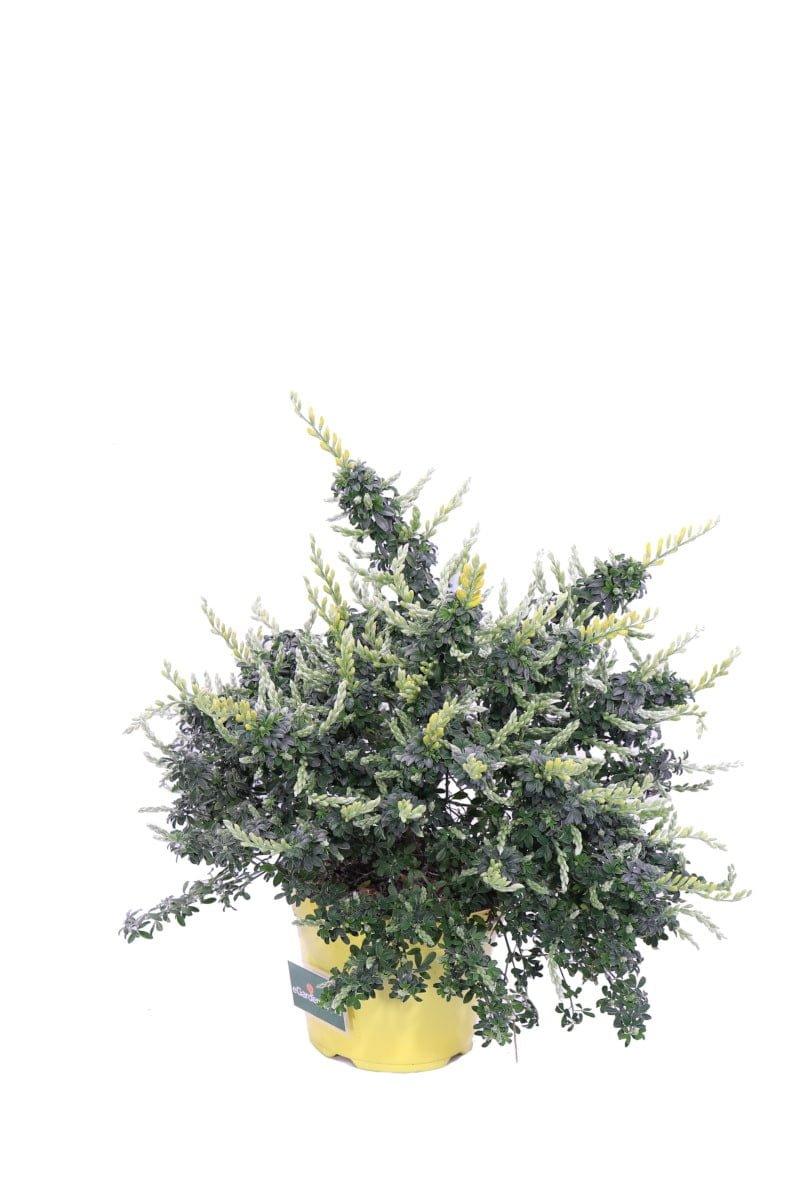 Cytisus Racemosus v14 egarden.store online
