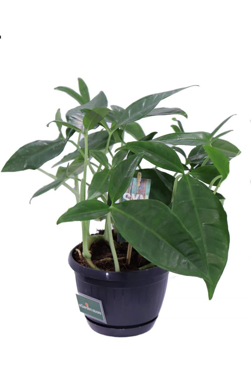 Syngonium Auritum v15 egarden.store online