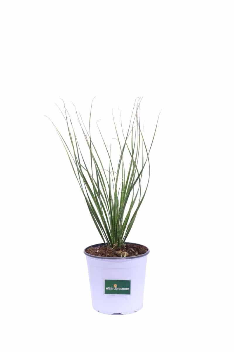 Dasylirion Leiophyllum v19 egarden.store online