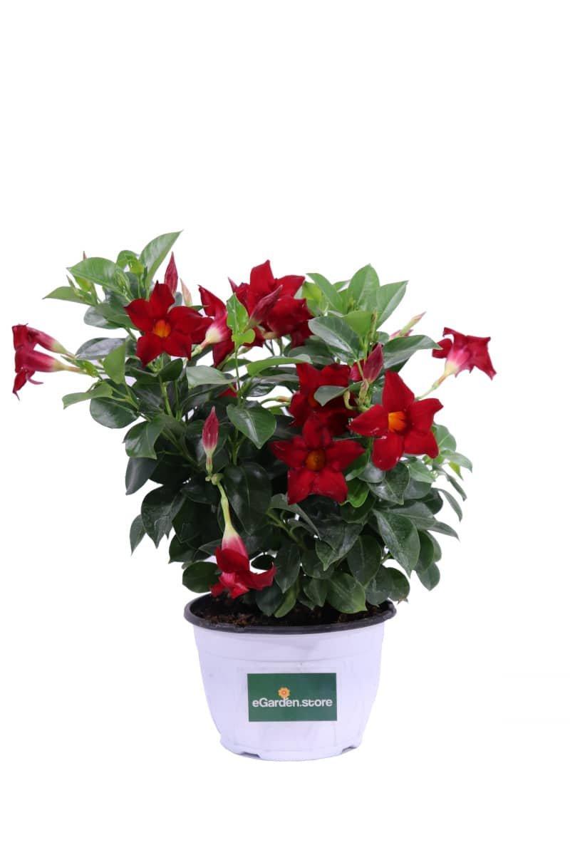 Dipladenia Rossa bk17 egarden.store online